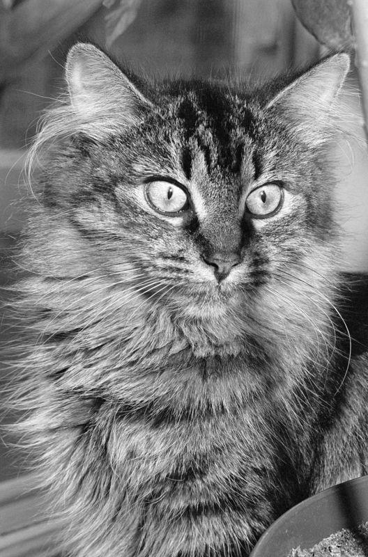 Hauskatze schwarzweiss Katzen
