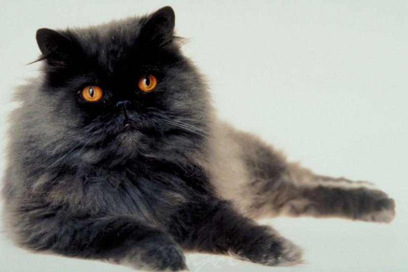 Langhaar Katze Katzen