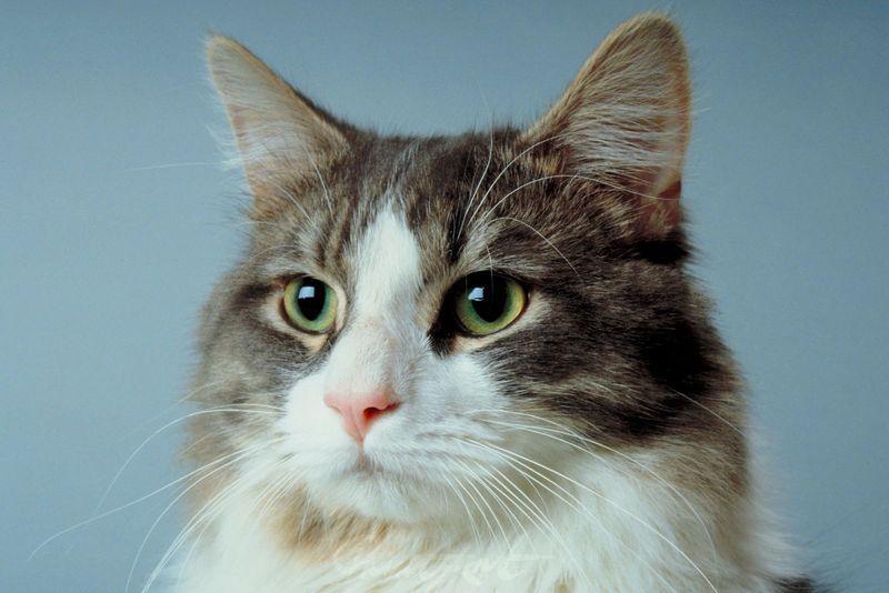 Hauskatze Portrait Katzen
