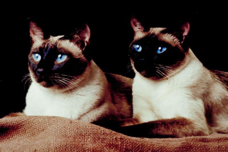 Edelkatzen Katzen