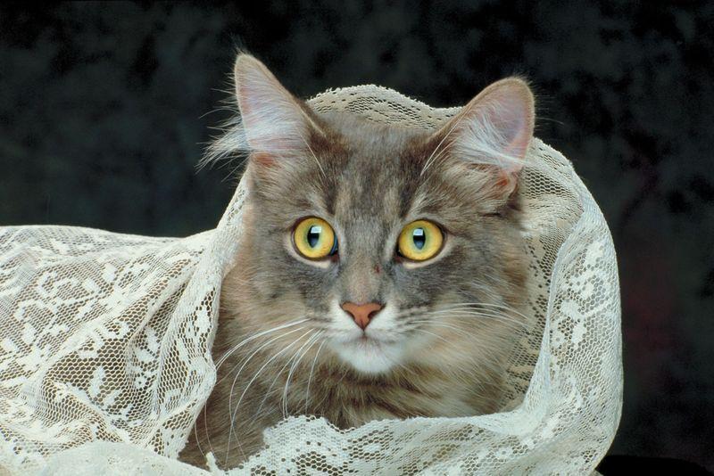 graue Katze Katzen