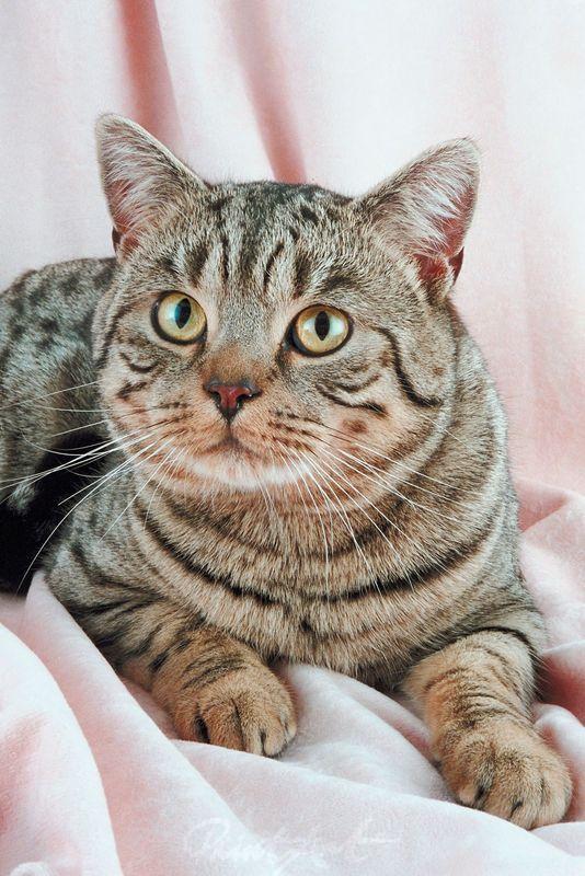 Tigerkatze im Studio Katzen