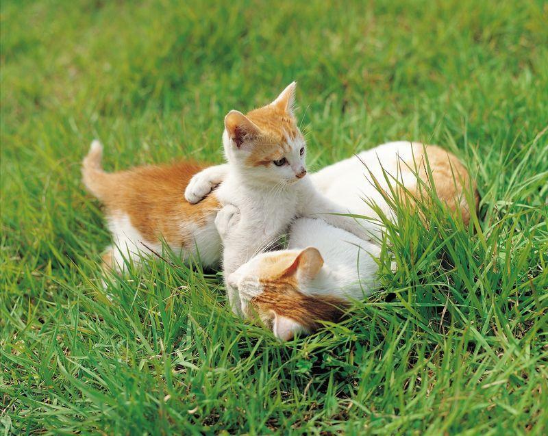 rostweisse Katzen Katzen