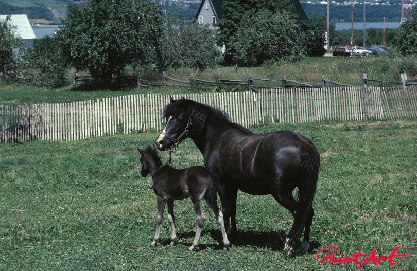 Pferd mit Fohlen Pferde