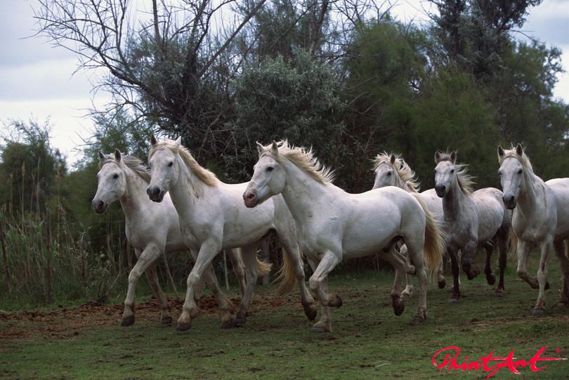 Schimmel in Landschaft Pferde