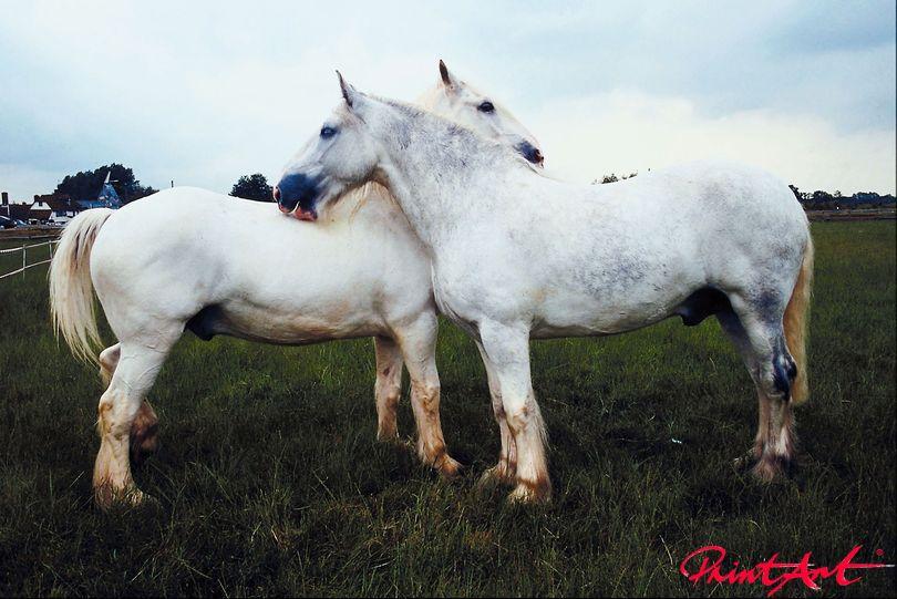 weisse Pferde Pferde