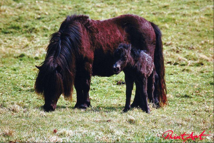 Zottelpferd mit Pony Pferde