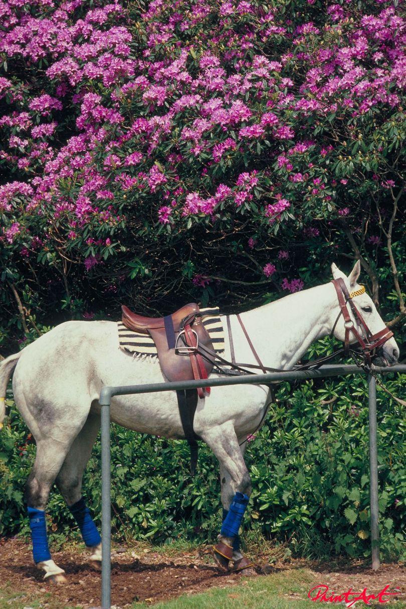 Polo Apfelschimmel Pferde