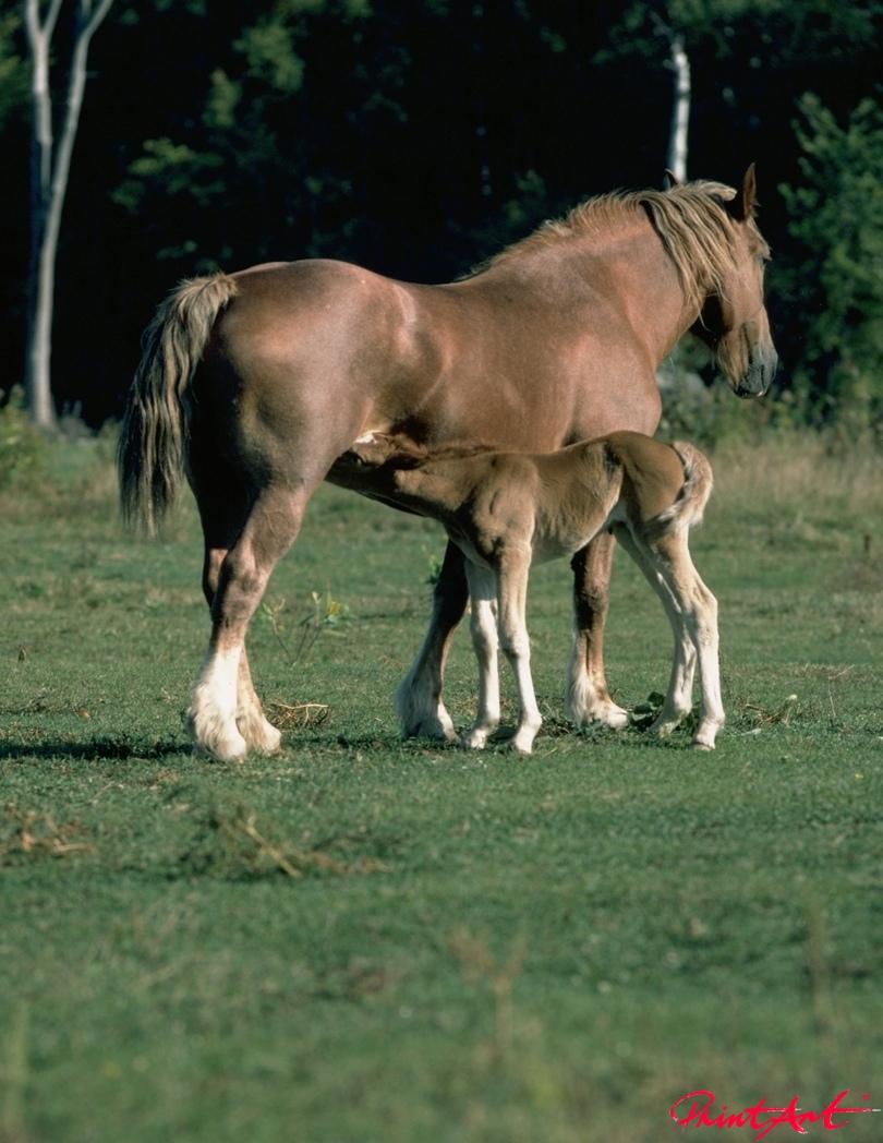 Stute mit Fohlen Pferde