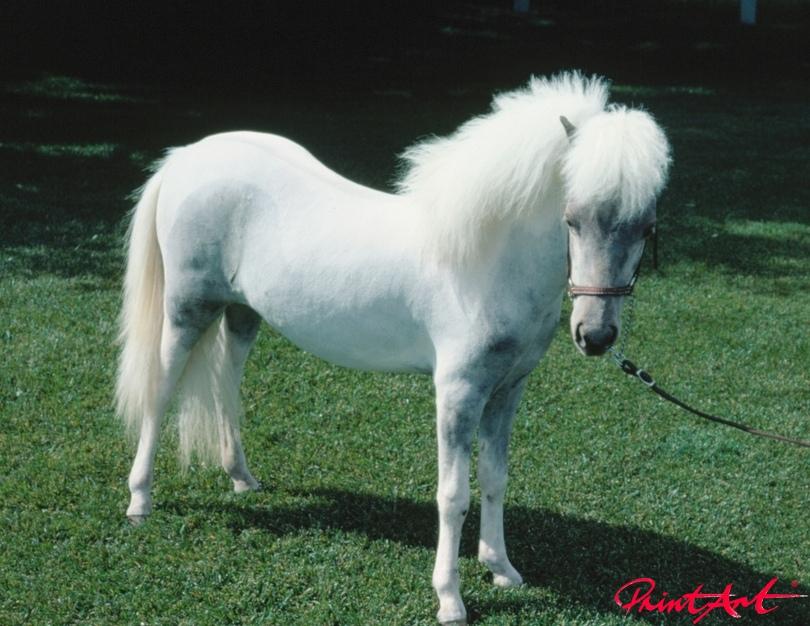 weisses Pony Pferde