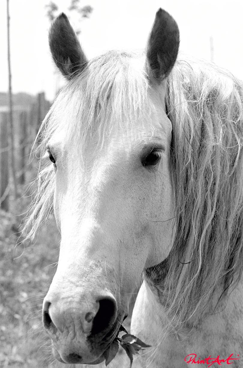 Apfelschimmelkopf Pferde
