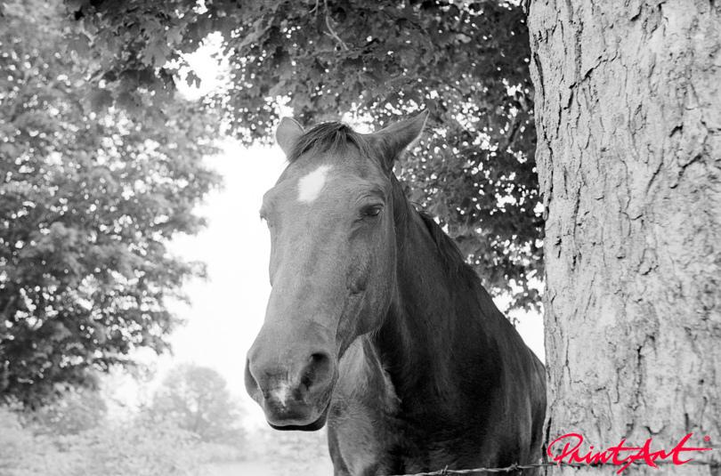 Pferdekopf schwarzweiss Pferde