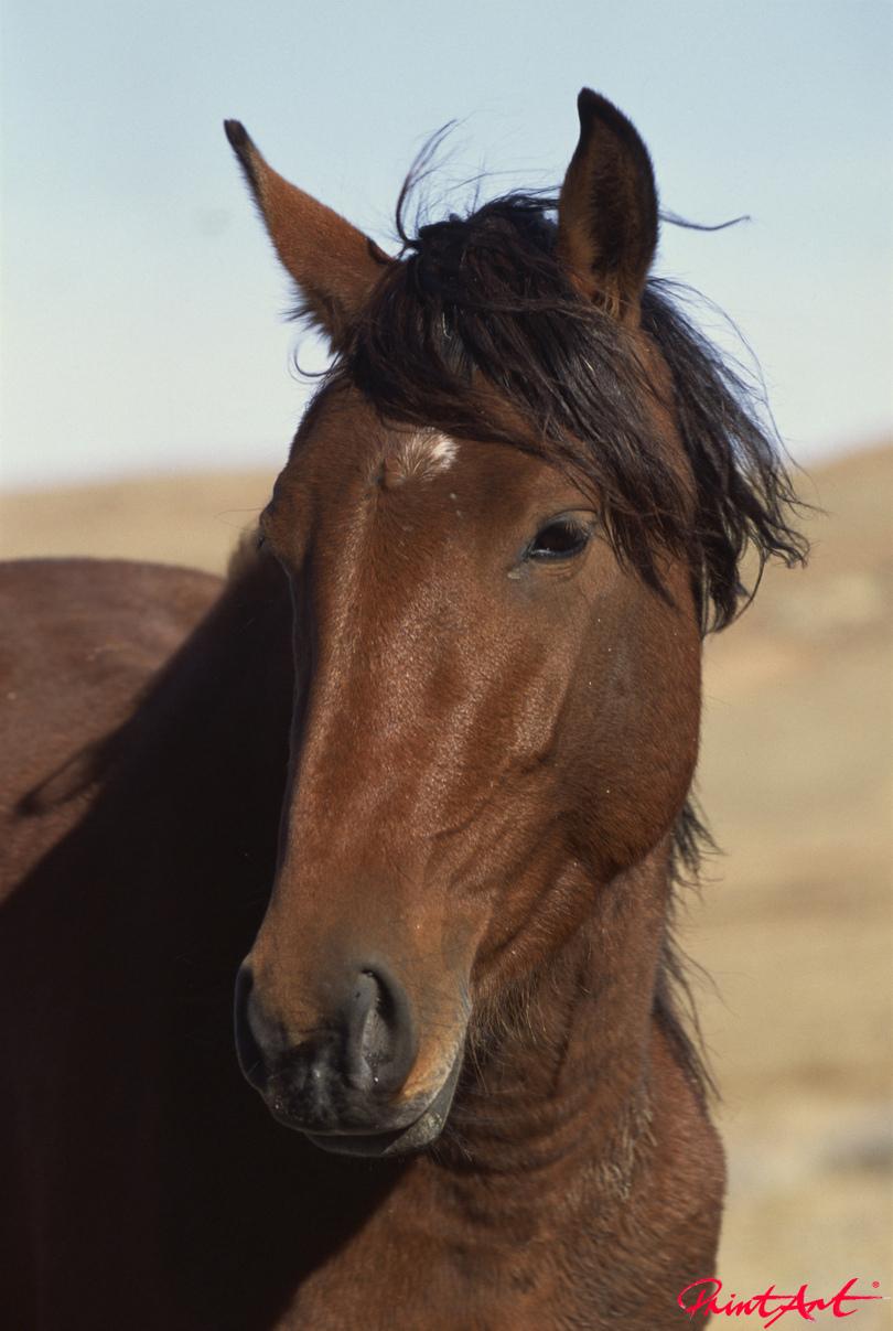 Wildpferdkopf braun. Pferde