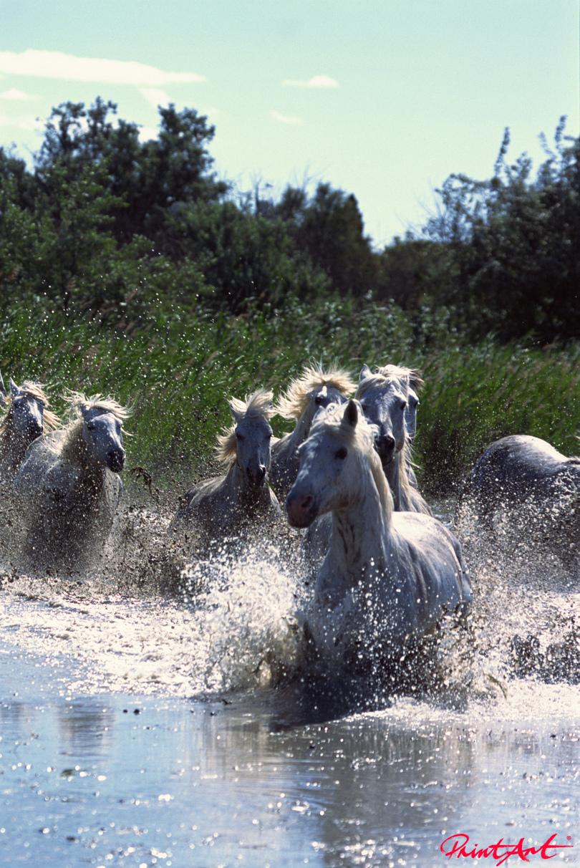 Schimmel im Fluss Pferde