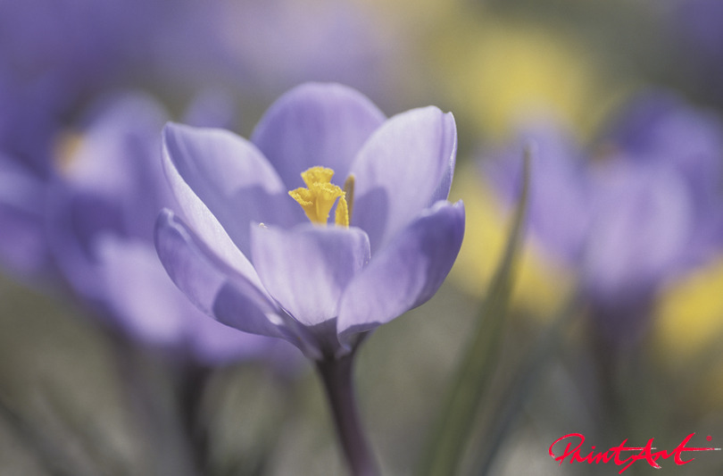 Krokuss violett Blumen