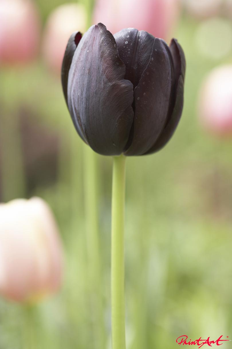 Tulpe einzeln schwarz Blumen