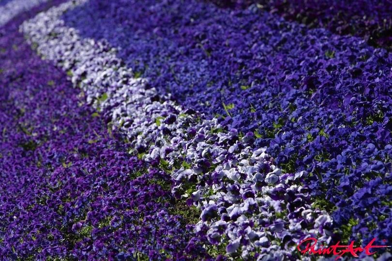Blumenmeer violett Blumen