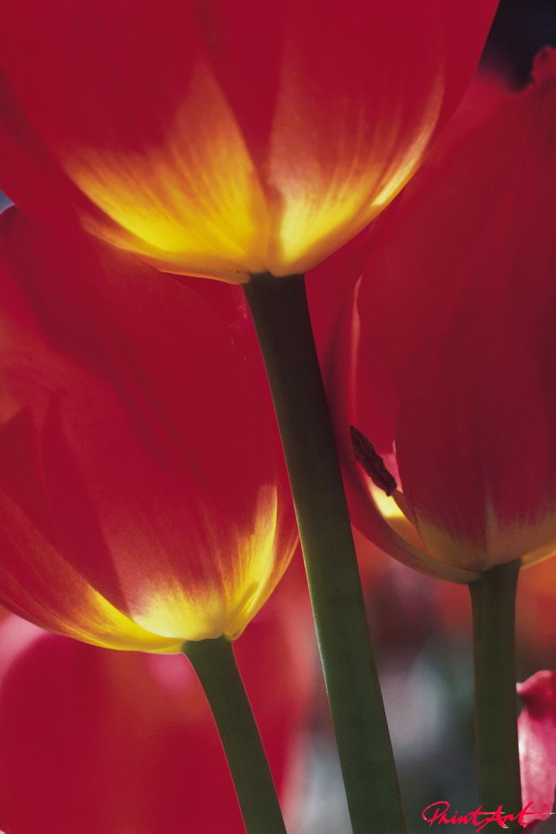 Tulpenausschnitt rot Blumen