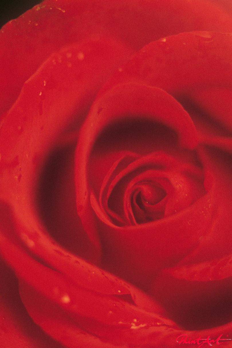 Detail Rosenknospe Blumen
