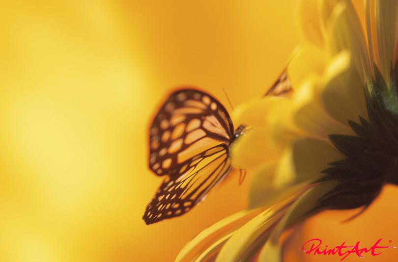 Gerbera mit Schmetterling Blumen