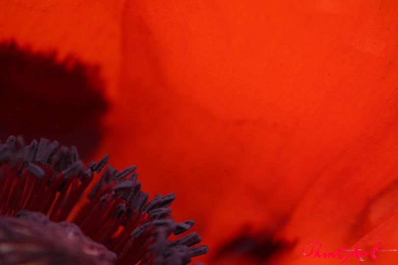 Detail Mohnblume Blumen
