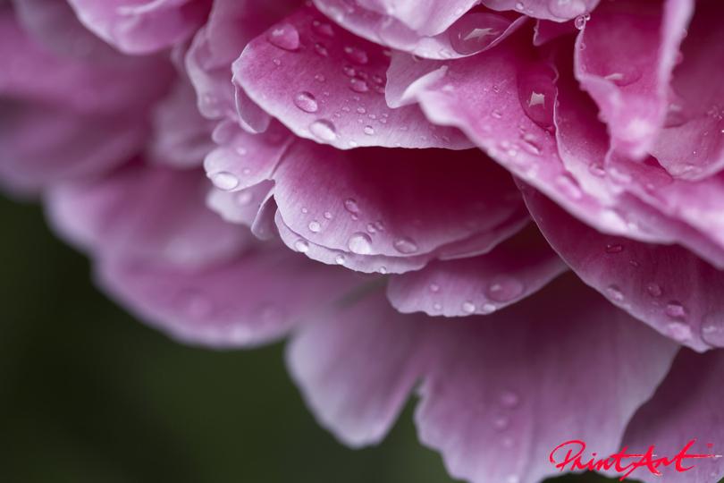 Blütendetail pinkviolett Blumen