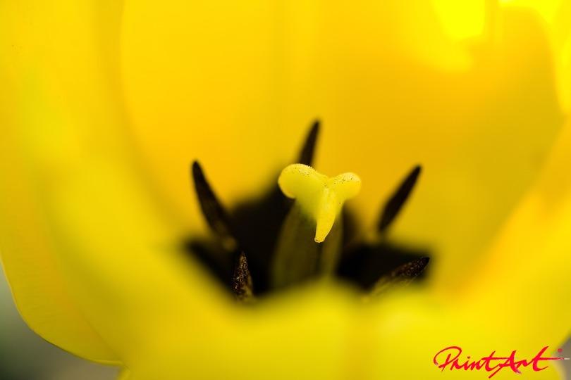 Tulpenausschnitt sonnengelb Blumen