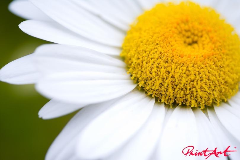 Gänseblume Ausschnitt Blumen
