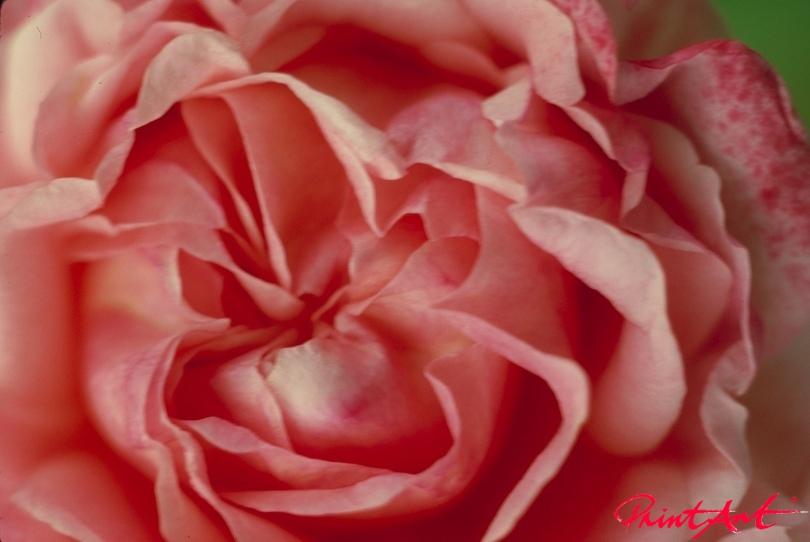 Rosenknospe rosarot Blumen