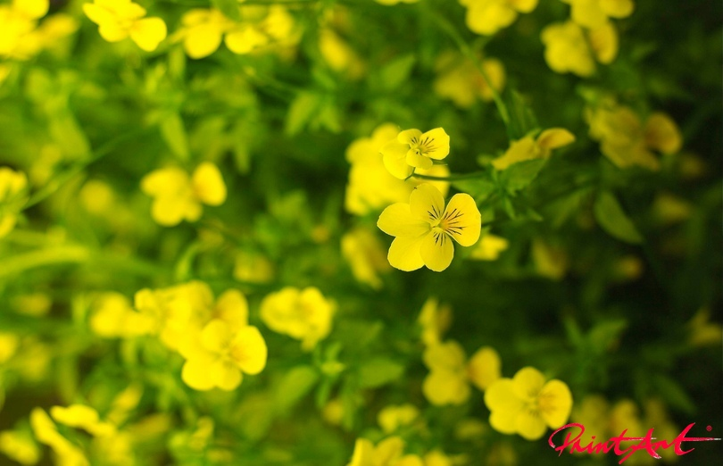 Butterblume mit Weichzeichner Blumen