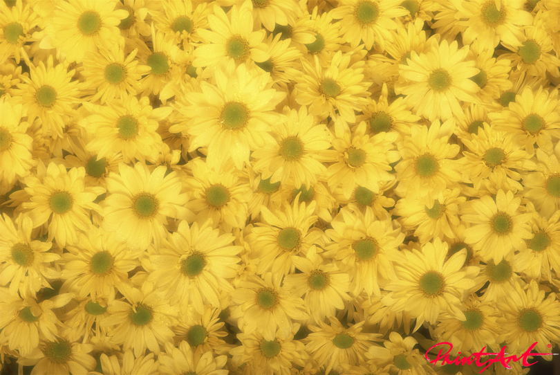 Blumenmeer goldgelb Blumen