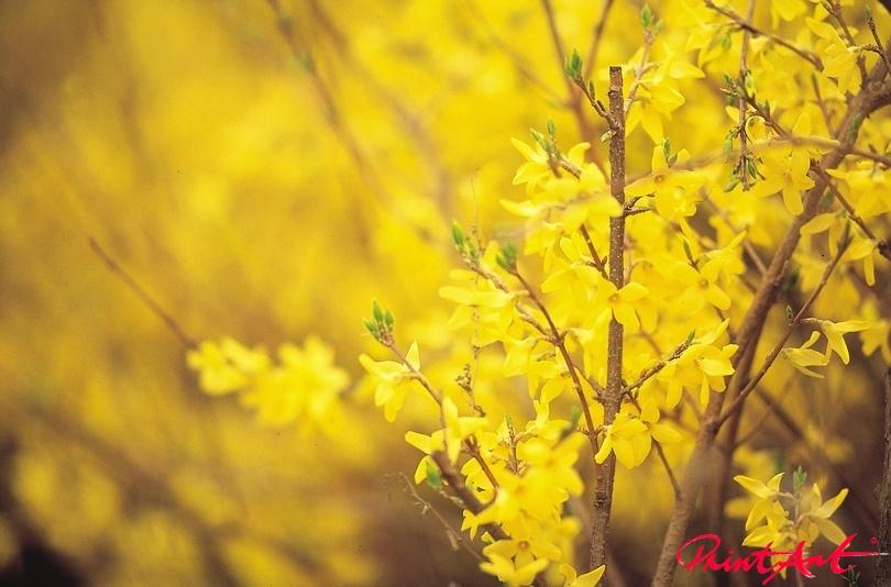 Forsythien Blumen