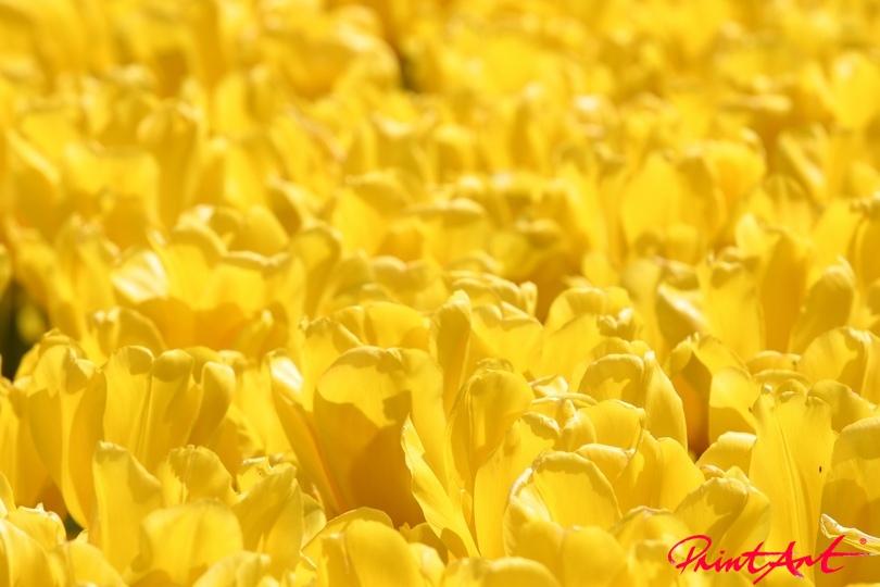 Tulpenköpfe Blumen