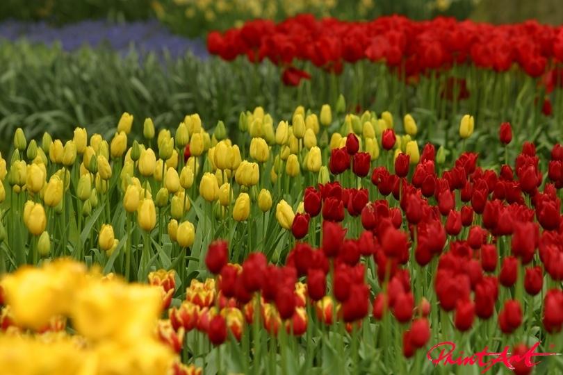 Tulpenmeer rot gelb Blumen