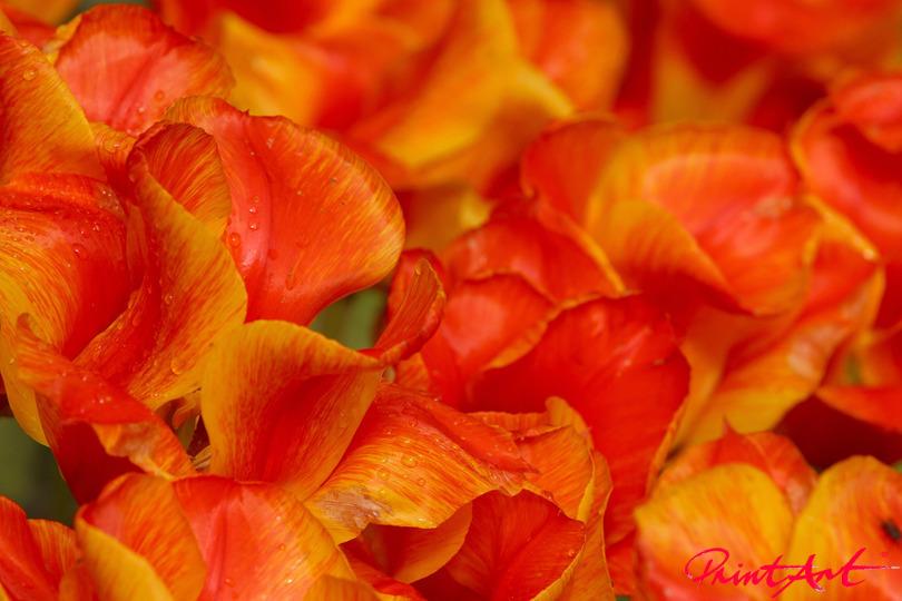 Tulpenblätter Blumen
