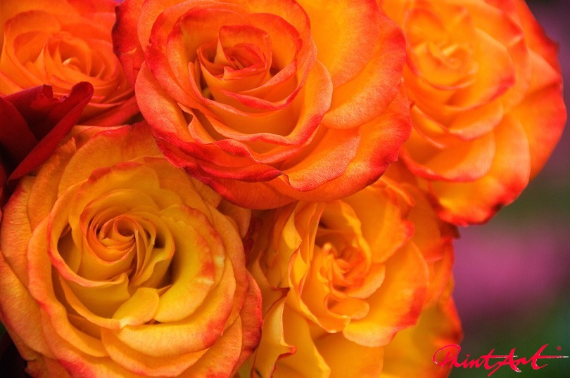 Rosen Blumen