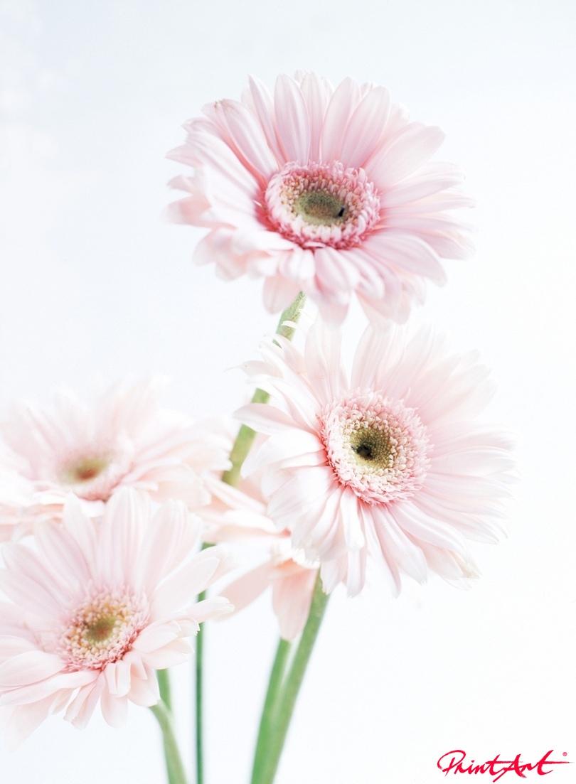 Gerbera zartrosa Blumen