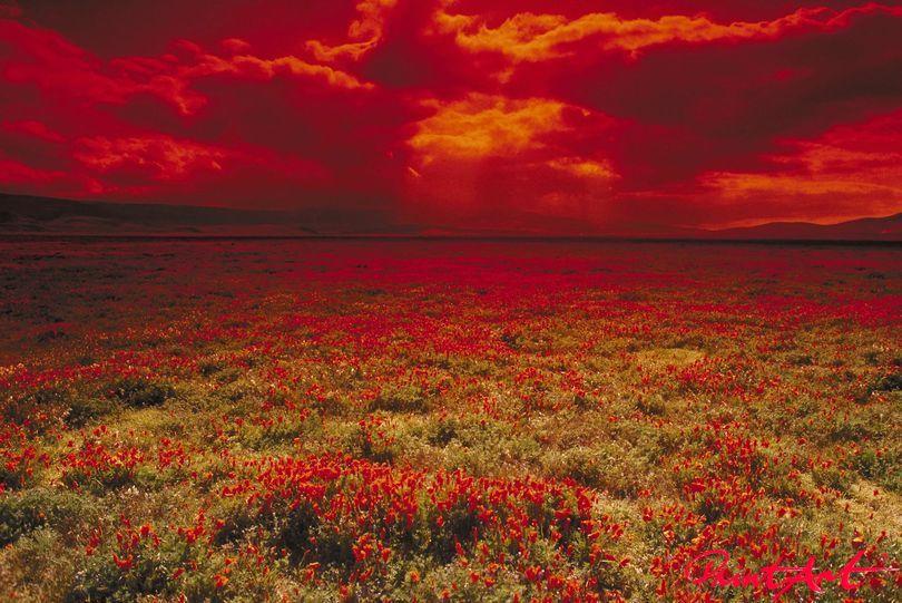 Tulpenfeld vor rotem Himmel Blumen