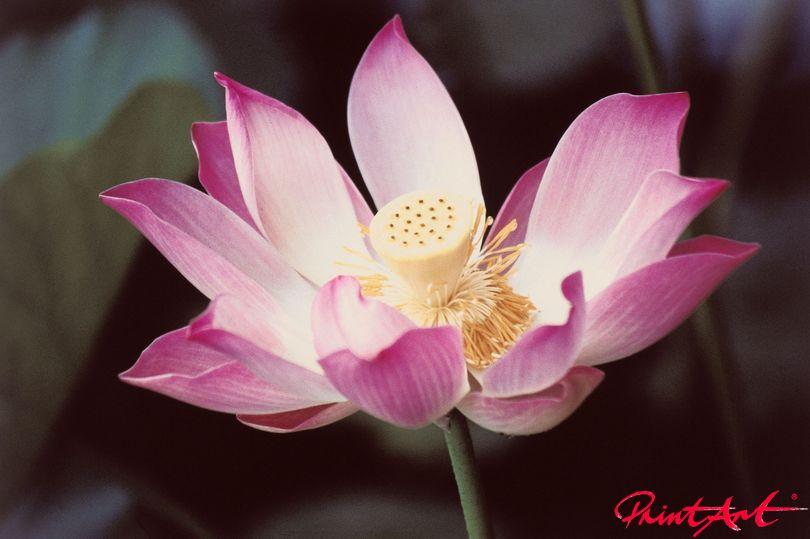 Lotusblüte rosaviolett Blumen