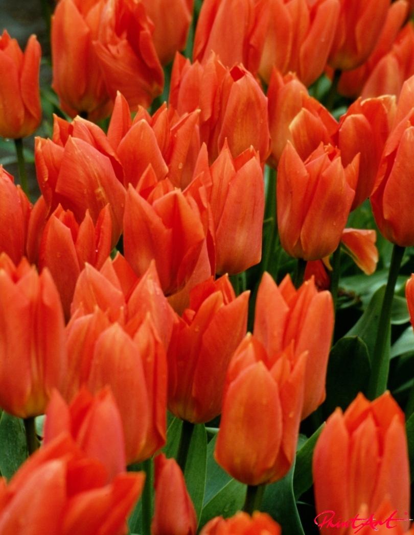 Tulpenmeer Blumen