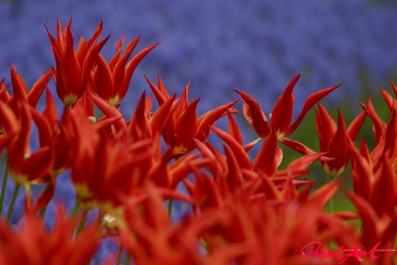 Fransentulpen Blumen