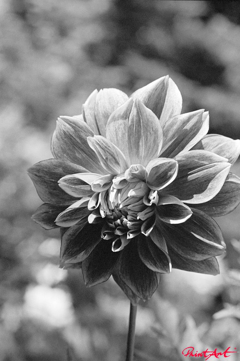 Dahlie Blumen