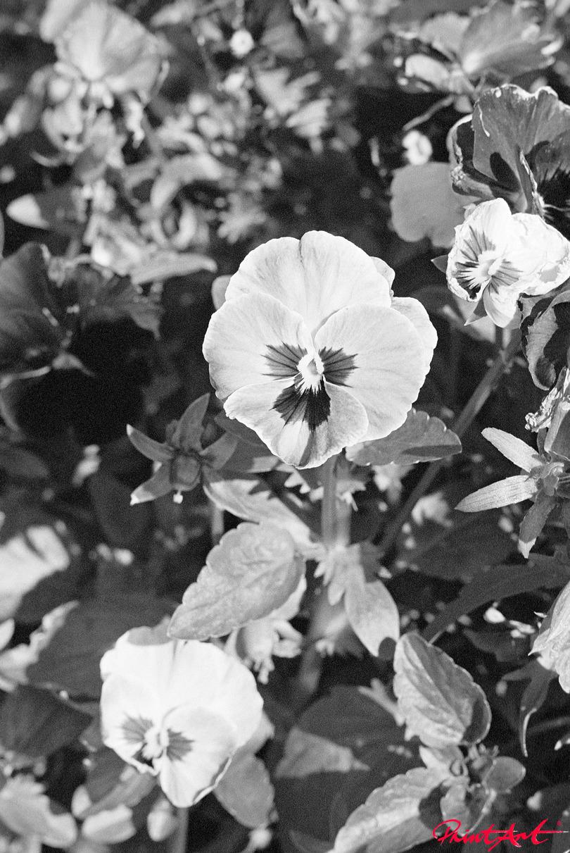 Stiefmütterchen Blumen