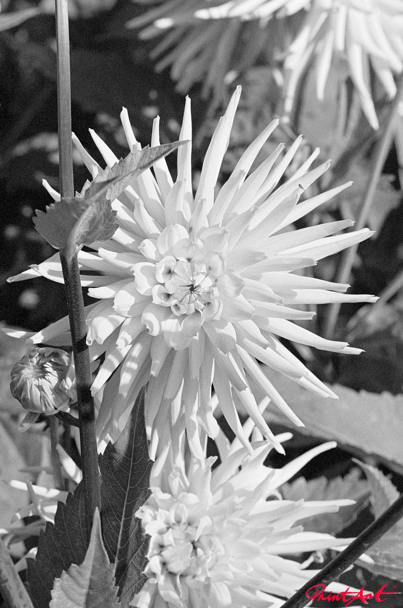 Dahlien Blumen