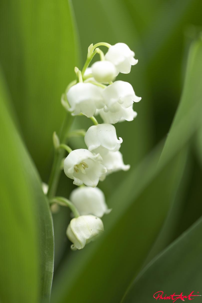Maiglöckchen Blumen