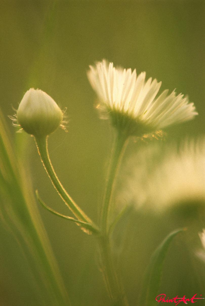 Gänseblume Blumen