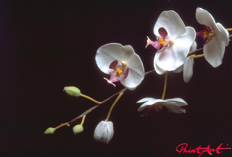 Orchidien Rispe Blumen