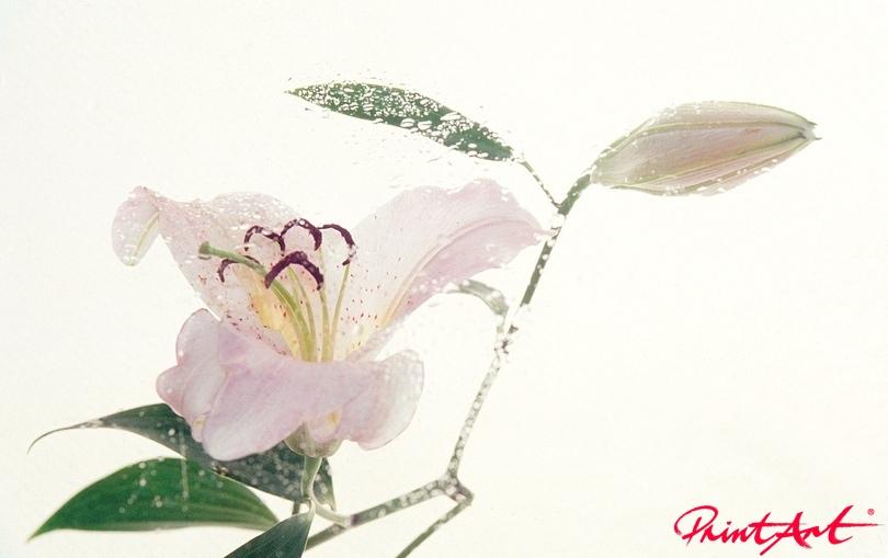 Lilie mit Tropfen Blumen