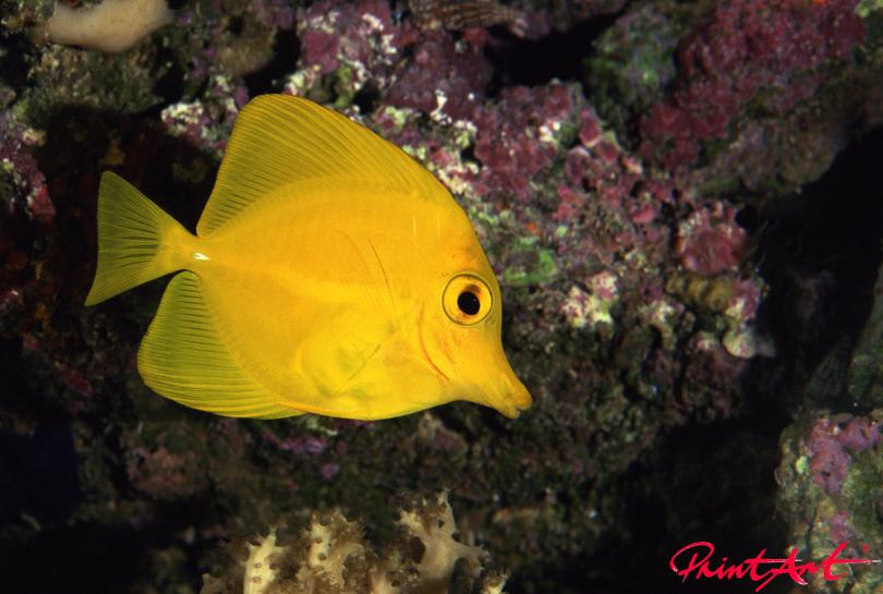 Salzwasser gelb Meerestiere