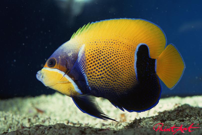 gelb violettblau Meerestiere